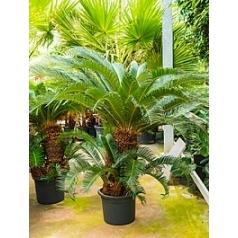 Цикас revoluta stem multi Диаметр горшка — 40 см Высота растения — 110 см