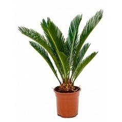 Цикас revoluta Диаметр горшка — 17 см Высота растения — 60 см