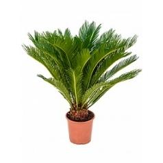 Цикас revoluta Диаметр горшка — 21 см Высота растения — 70 см