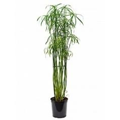 Циперус alternifolius glaber tuft Диаметр горшка — 23 см Высота растения — 145 см