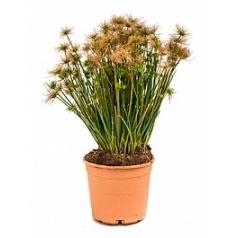 Циперус alternifolius nana tuft Диаметр горшка — 21 см Высота растения — 70 см