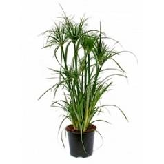 Циперус papyrus tuft Диаметр горшка — 19 см Высота растения — 60 см