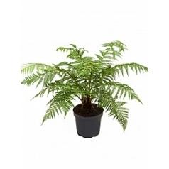 Диксония antartica stem (0-5) Диаметр горшка — 26 см Высота растения — 70 см