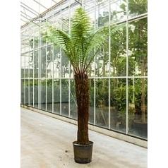 Диксония antartica stem (130-150) Диаметр горшка — 60 см Высота растения — 270 см