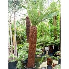 Диксония antartica stem (200-210) Диаметр горшка — 55 см Высота растения — 350 см