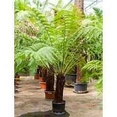 Диксония antartica stem (60-70) Диаметр горшка — 35 см Высота растения — 200 см