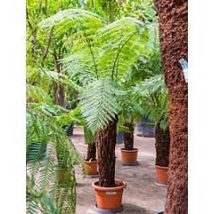 Диксония antartica stem (70-80) Диаметр горшка — 35 см Высота растения — 230 см
