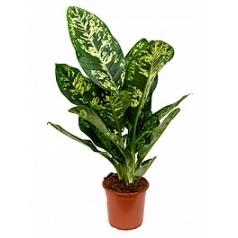 Диффенбахия crown Диаметр горшка — 24 см Высота растения — 110 см