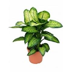 Диффенбахия lemon tropic Диаметр горшка — 35 см Высота растения — 100 см