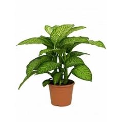 Диффенбахия tropic jewel Диаметр горшка — 35 см Высота растения — 85 см