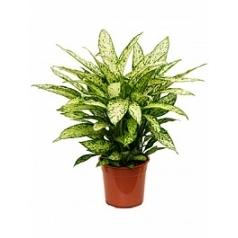 Диффенбахия vesuvius Диаметр горшка — 27 см Высота растения — 70 см
