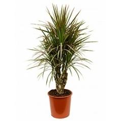 Драцена bicolor branched Диаметр горшка — 27 см Высота растения — 100 см