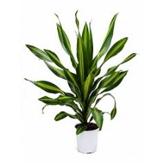 Драцена burley head Диаметр горшка — 24 см Высота растения — 95 см