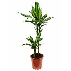 Драцена cintho 45-15 Диаметр горшка — 19 см Высота растения — 80 см