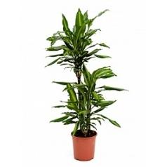 Драцена cintho 60-30-15 Диаметр горшка — 21 см Высота растения — 110 см