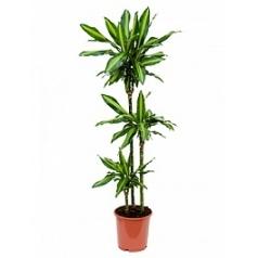 Драцена cintho 90-60-30 Диаметр горшка — 24 см Высота растения — 150 см
