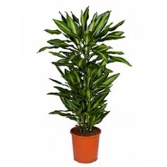 Драцена cintho branched-multi Диаметр горшка — 27 см Высота растения — 110 см