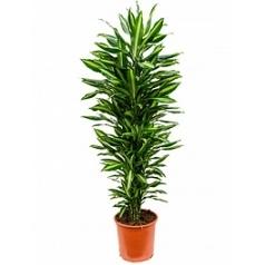 Драцена cintho branched-multi Диаметр горшка — 32 см Высота растения — 150 см
