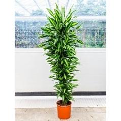 Драцена cintho branched-multi Диаметр горшка — 34 см Высота растения — 190 см