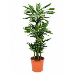 Драцена cintho carrousel (5pp) Диаметр горшка — 32 см Высота растения — 150 см