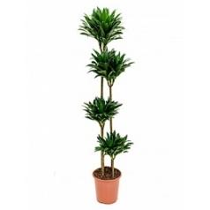 Драцена compacta 120-90-60-30 Диаметр горшка — 27 см Высота растения — 155 см