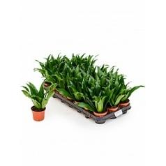 Драцена compacta 21/tray head Диаметр горшка — 8 см Высота растения — 23 см