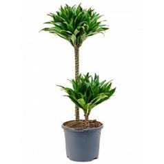 Драцена compacta 45-15 Диаметр горшка — 19 см Высота растения — 80 см
