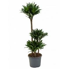 Драцена compacta 60-30-15 Диаметр горшка — 23 см Высота растения — 100 см