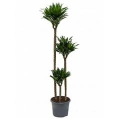 Драцена compacta 90-60-30 Диаметр горшка — 26 см Высота растения — 120 см