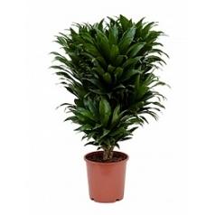 Драцена compacta branched-multi Диаметр горшка — 21 см Высота растения — 65 см