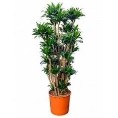 Драцена compacta branched-multi Диаметр горшка — 34 см Высота растения — 160 см