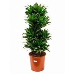 Драцена compacta branched-multi Диаметр горшка — 27 см Высота растения — 95 см