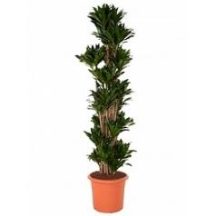 Драцена compacta branched-multi Диаметр горшка — 40 см Высота растения — 180 см