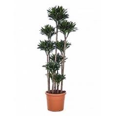 Драцена compacta carrousel (10pp) Диаметр горшка — 40 см Высота растения — 190 см