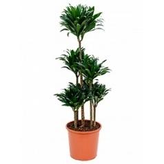 Драцена compacta carrousel (6pp) Диаметр горшка — 32 см Высота растения — 130 см