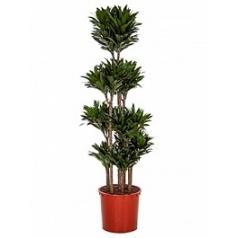 Драцена compacta carrousel (8pp) Диаметр горшка — 34 см Высота растения — 170 см