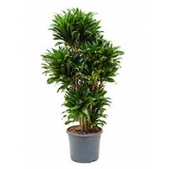 Драцена compacta vertakt multi Диаметр горшка — 29 см Высота растения — 110 см