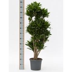 Драцена compacta vertakt multi Диаметр горшка — 31 см Высота растения — 150 см