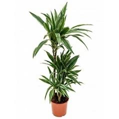 Драцена deremensis 60-30-15 Диаметр горшка — 21 см Высота растения — 105 см