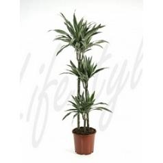 Драцена deremensis 90-60-30 Диаметр горшка — 24 см Высота растения — 130 см