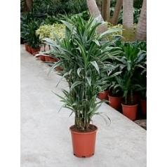 Драцена deremensis branched-multi Диаметр горшка — 27 см Высота растения — 115 см