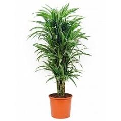 Драцена deremensis branched-multi Диаметр горшка — 32 см Высота растения — 135 см