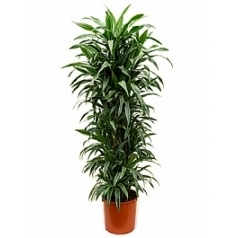 Драцена deremensis branched-multi Диаметр горшка — 34 см Высота растения — 165 см