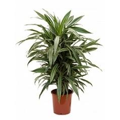 Драцена deremensis branched-multi Диаметр горшка — 24 см Высота растения — 90 см