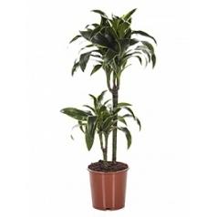 Драцена dorado 45-15 Диаметр горшка — 19 см Высота растения — 80 см