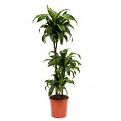 Драцена dorado 60-30-15 Диаметр горшка — 21 см Высота растения — 95 см