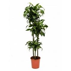 Драцена dorado 90-60-30 Диаметр горшка — 24 см Высота растения — 130 см