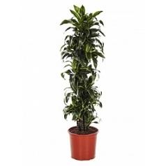 Драцена dorado branched-multi Диаметр горшка — 34 см Высота растения — 170 см