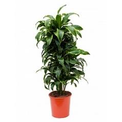 Драцена dorado branched-multi Диаметр горшка — 27 см Высота растения — 105 см