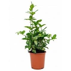 Драцена godsefiana bush Диаметр горшка — 24 см Высота растения — 50 см